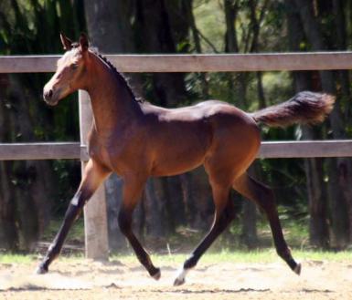 Contenda x TB foal