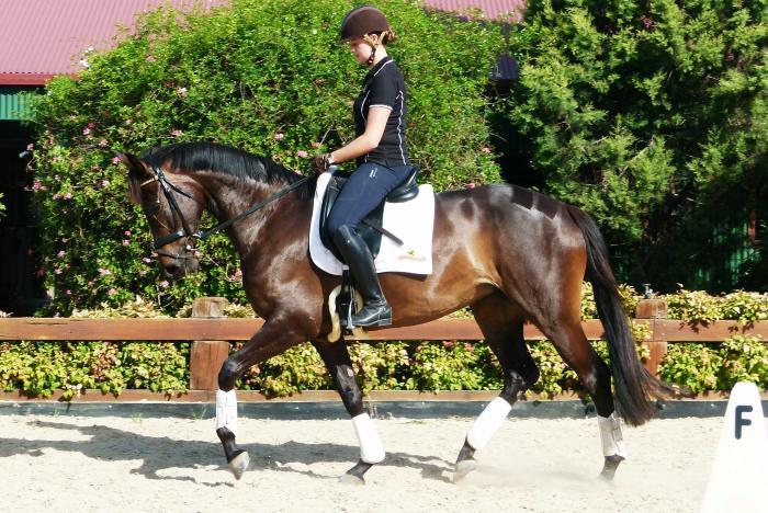 REHEARSAL 5 yo 16.1 brown mare by Regardez Moi