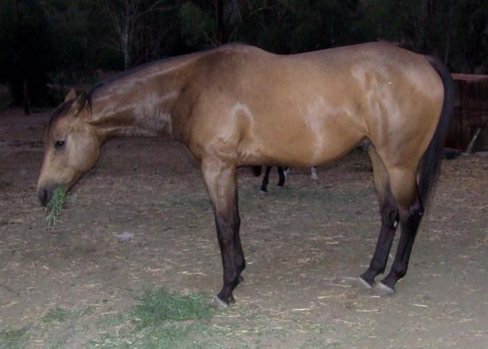 Quarter Horse x TB Buckskin Gelding 16hh
