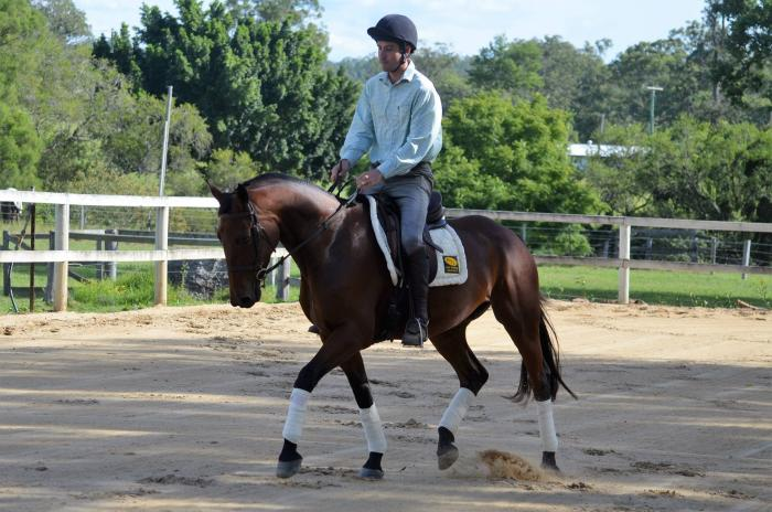 Warmblood/Stockhorse mare for sale