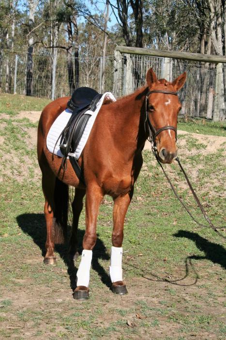 Australian Riding Pony X Mare