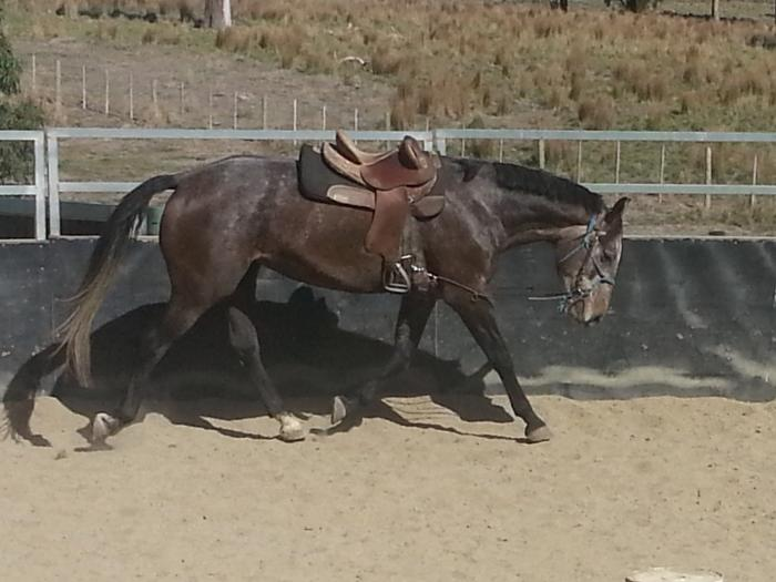 Warmblood x Percheron/TB Mare