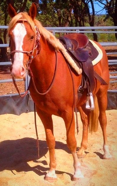 COSMO:SWEET,PLACID,14.1H,8YO QH CONFIDENCE BOOSTER