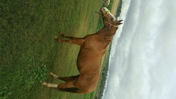 Challoway mare