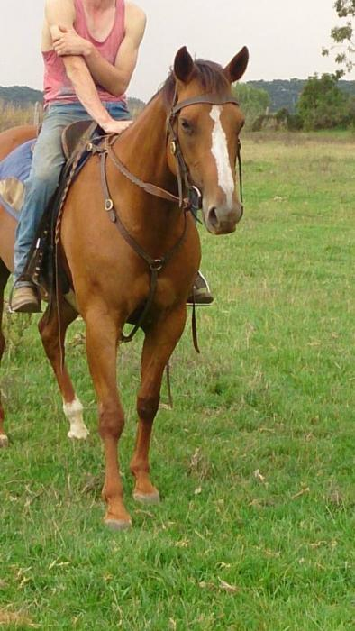 QH Mare 7yr old