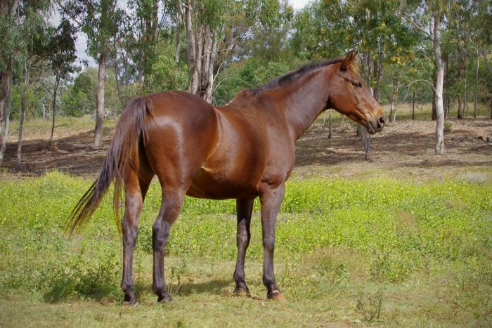 Heritage stock horse brood mare.