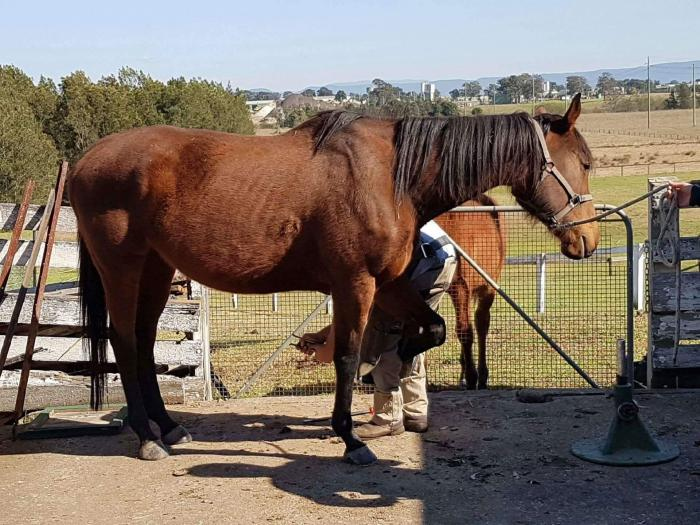 Bay Thoroughbred mare perfect project or broodie