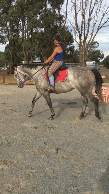 Stunning Small Hack Grey TB Mare