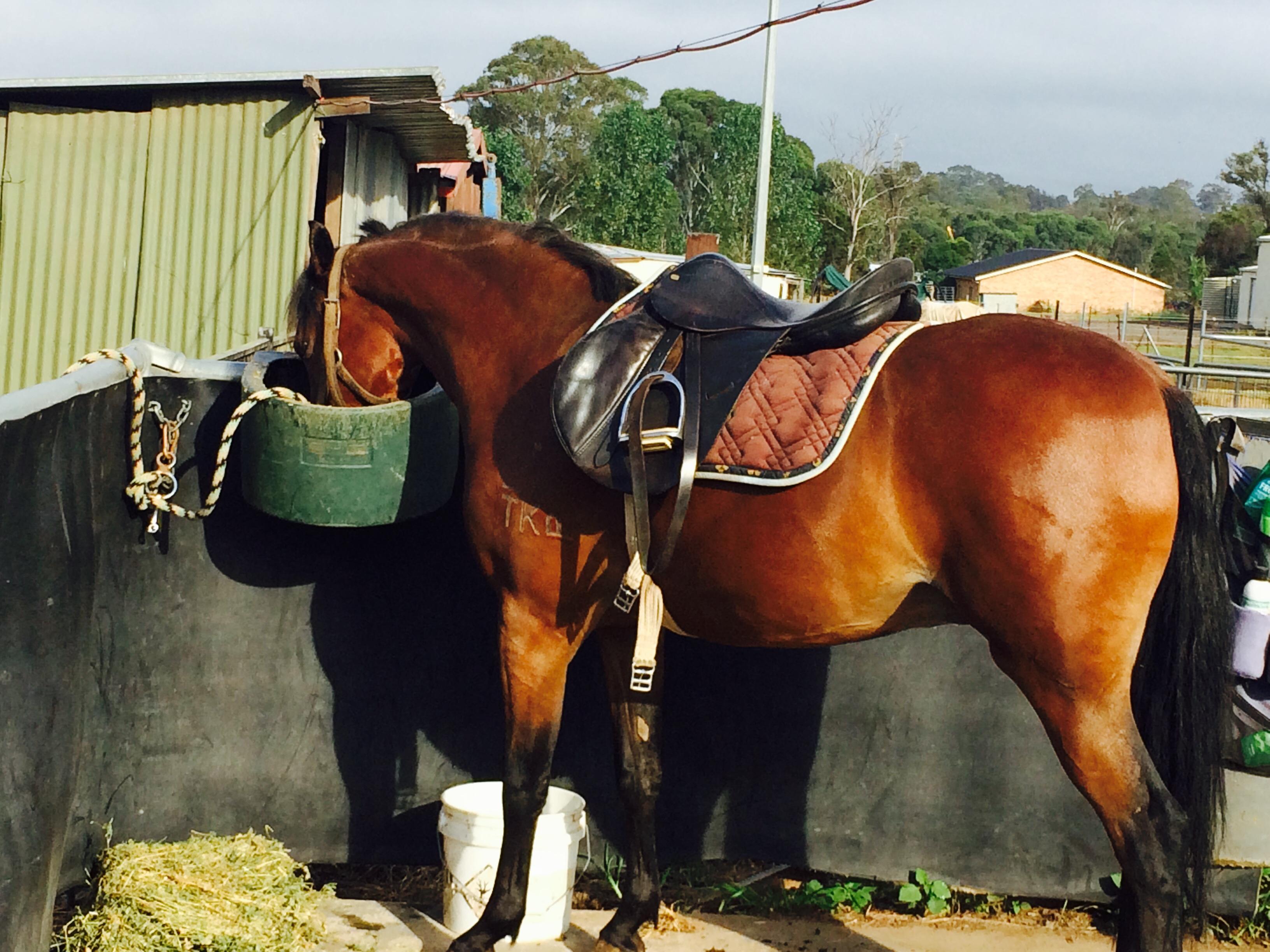 Quality show pony