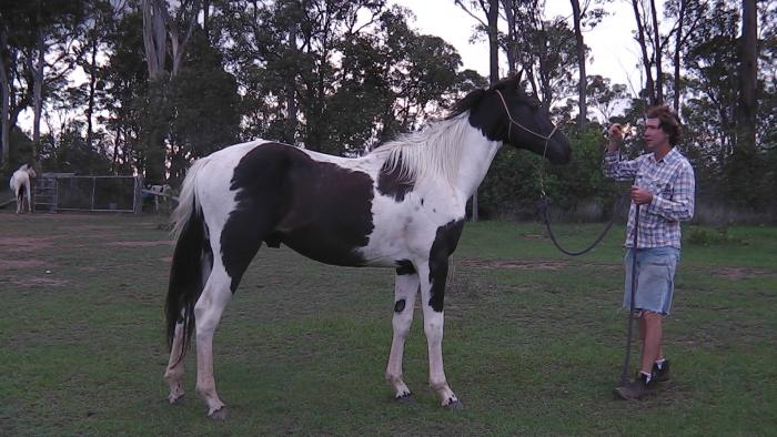 BLACK & WHITE REG TOBIANO COLT/STALLION - REDUCED