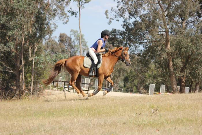 Your next pony club mount! 14hh, 12yo gelding.