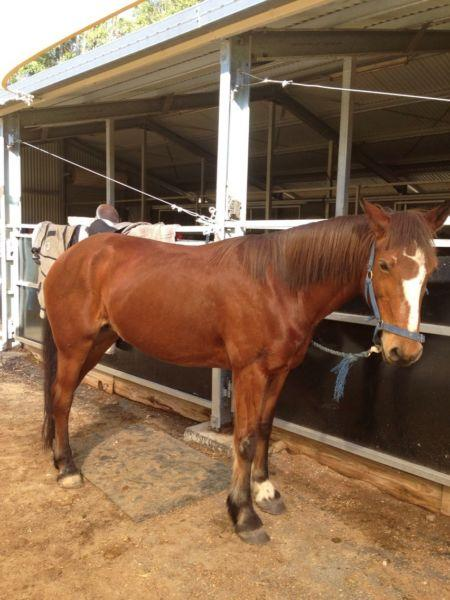 Sweet Candy 14.2hh mare draught cross stock horse