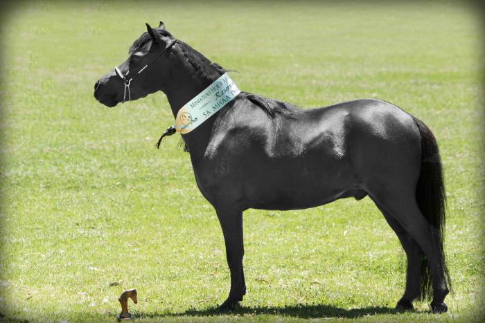 Miniature Horse Gelding