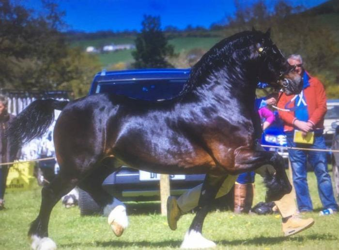 Welsh Cob Stallion