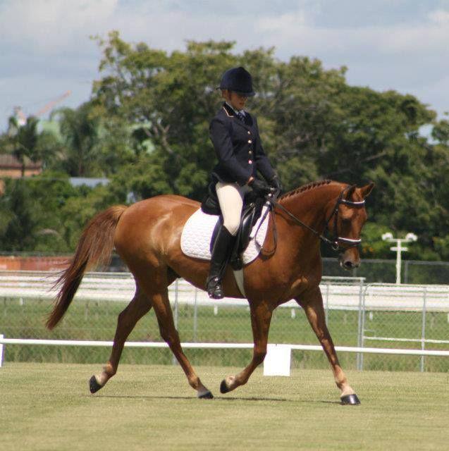Dressage Schoolmaster/ Beginners horse