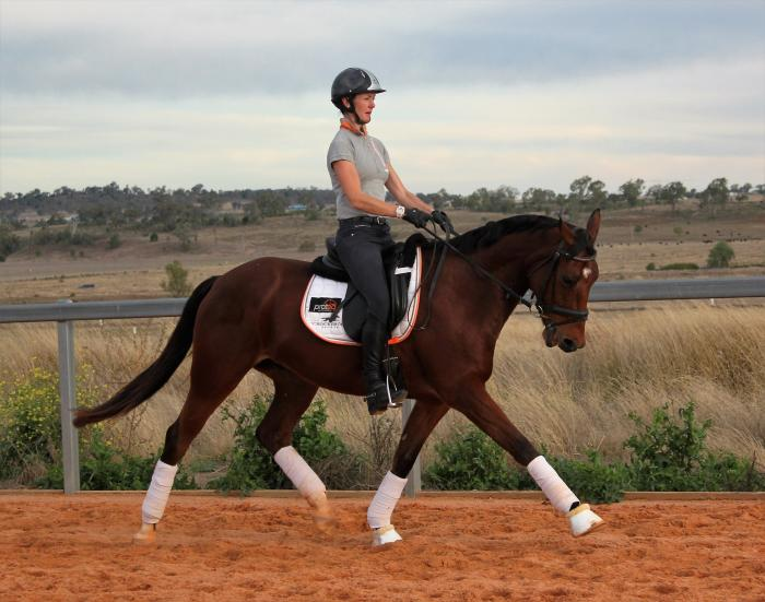 Attractive Performance Horse - Dressage/Jump/Event