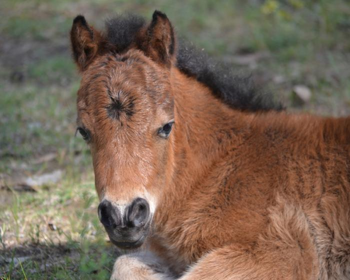 Miniature Bay Colt.