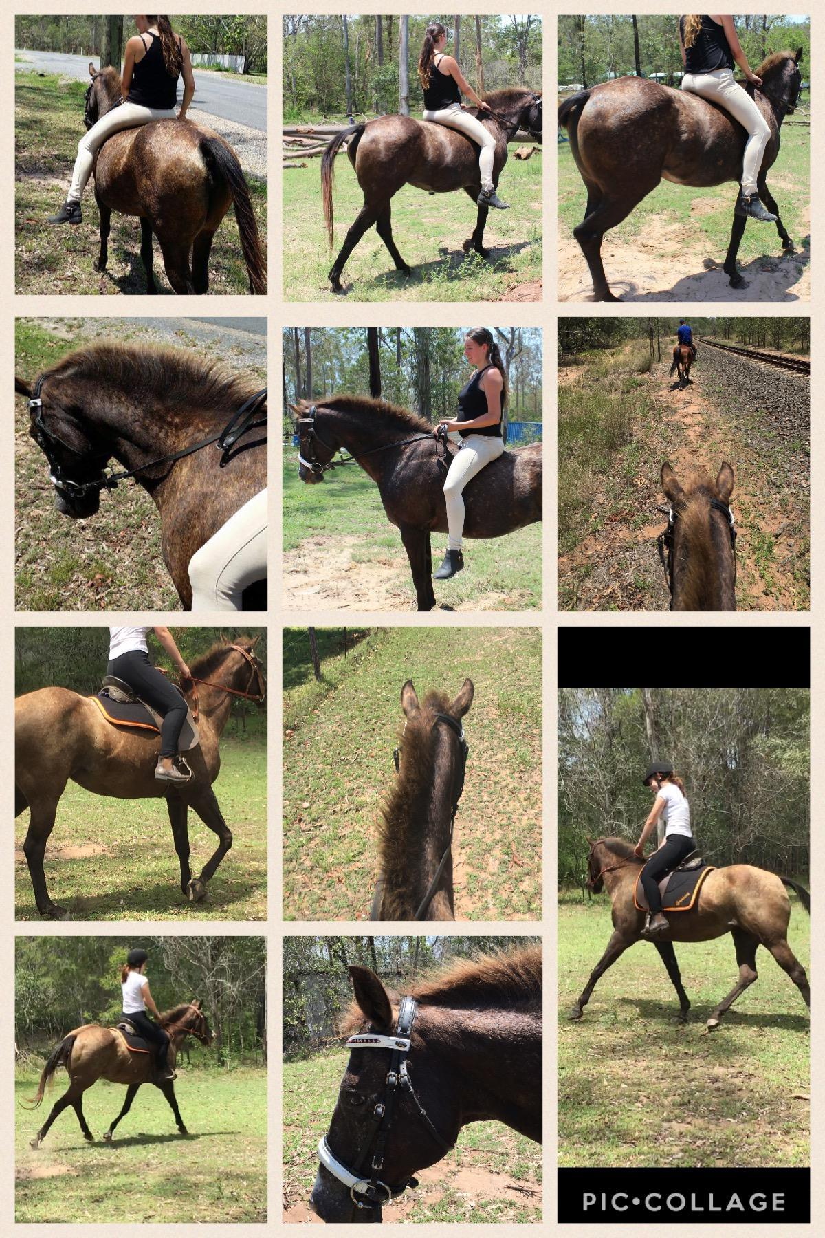 PRICE DROP!! 14yr old buckskin appy sporting mare