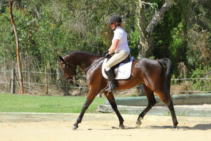 Potential dressage, show or trail ride