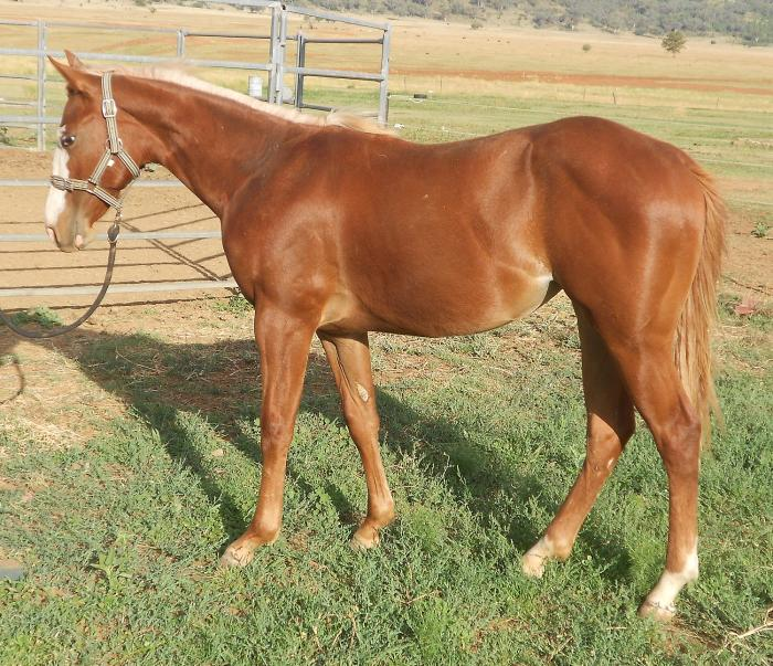 2YO AQHA FILLY - Tassa Lena x Bar Doc Hickory