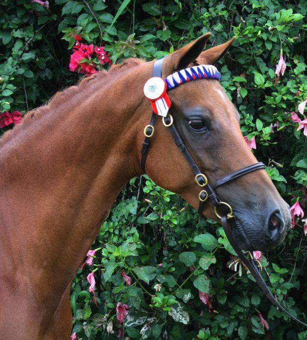 Beautiful Australian Riding Pony Mare
