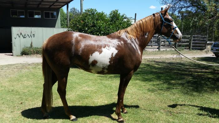 Quality filly professionally started