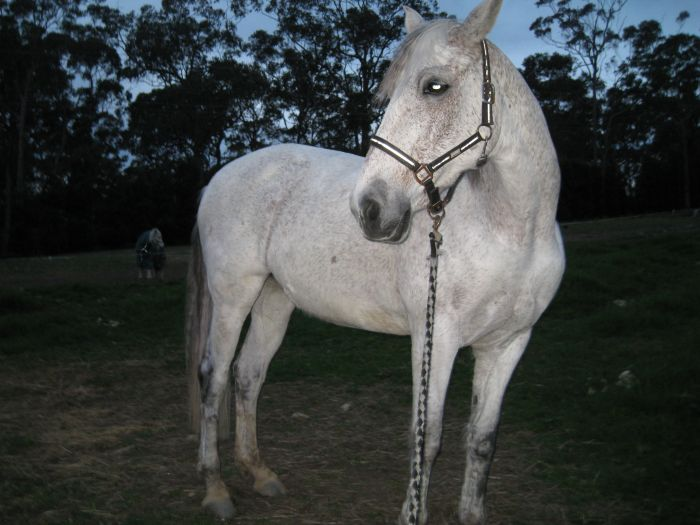 Andalusian 2nd cross Mare- Excellent All rounder