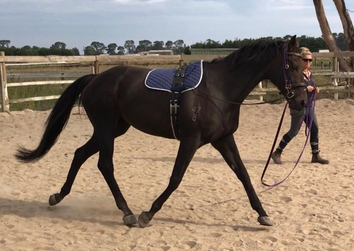 Off the track gelding
