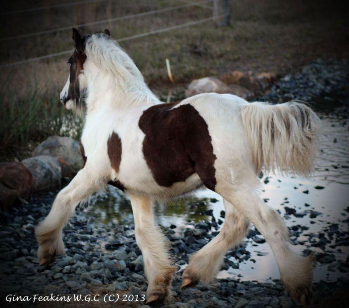Gypsy Cob Purebred Colt