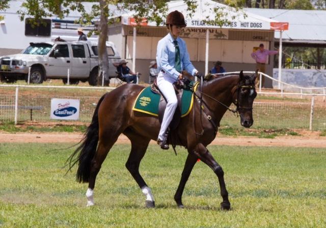 Versatile Australian Stock Horse Gelding