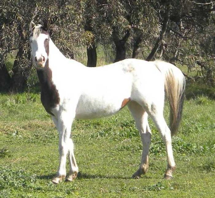 Dual Registered Overo Pinto Mare.