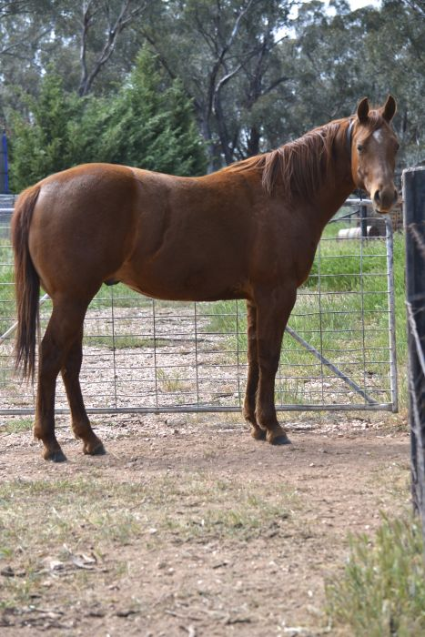 Young Gelding with Great Potential