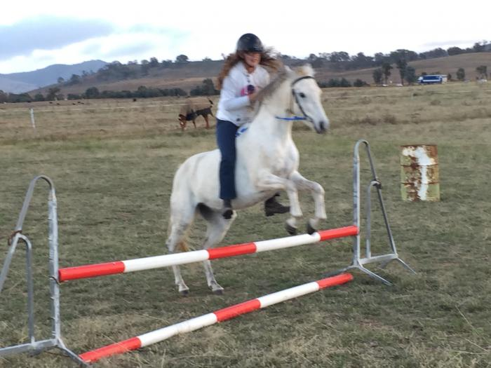 Allround Grey Gelding
