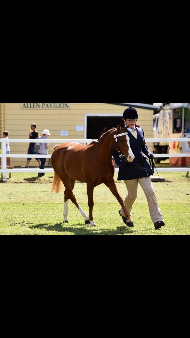Dual reg Riding Pony