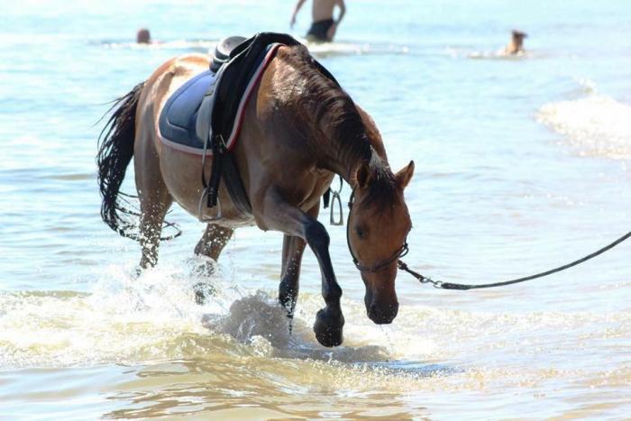ARIZONA: BOMBPROOF, SWEET, 14hh BEGINNERS HORSE