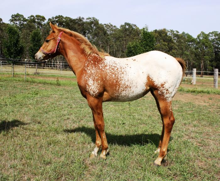 Quality Weanling Filly