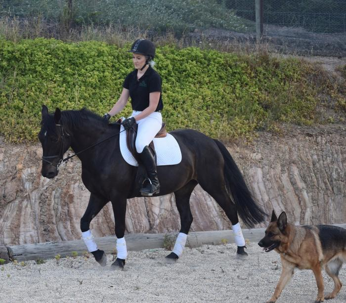 14.2 QH x SH Trail Riding/ All Rounder