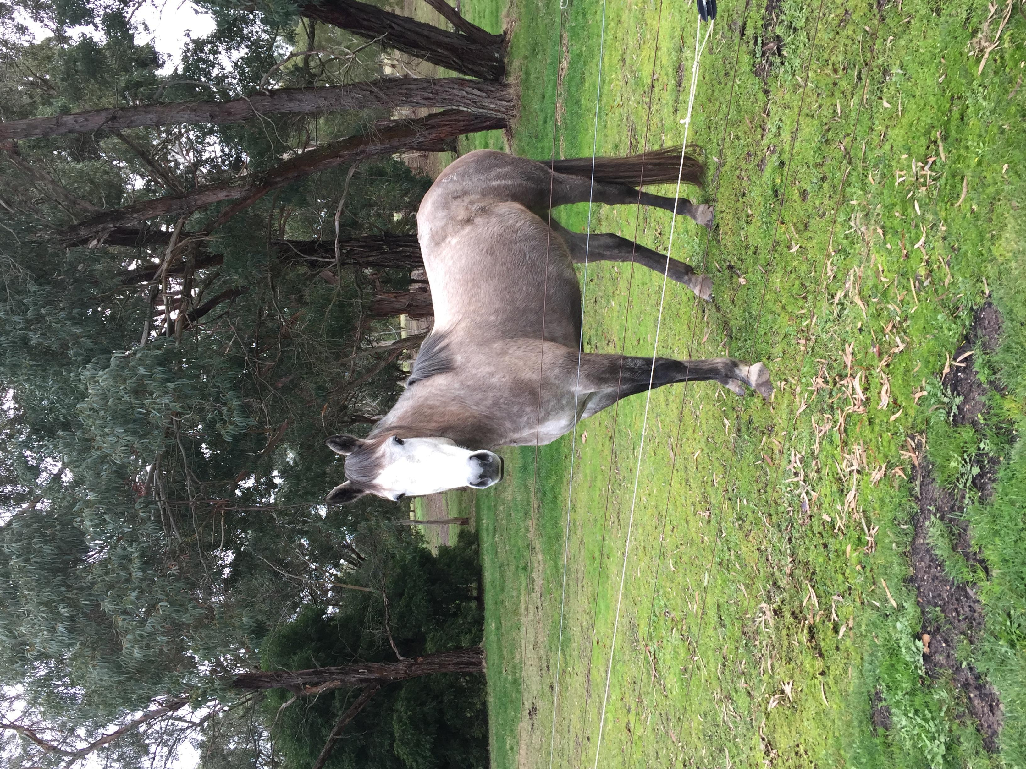 Irish Sport Horse Mare SID