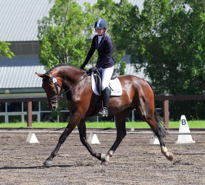 Top quality young dressage gelding