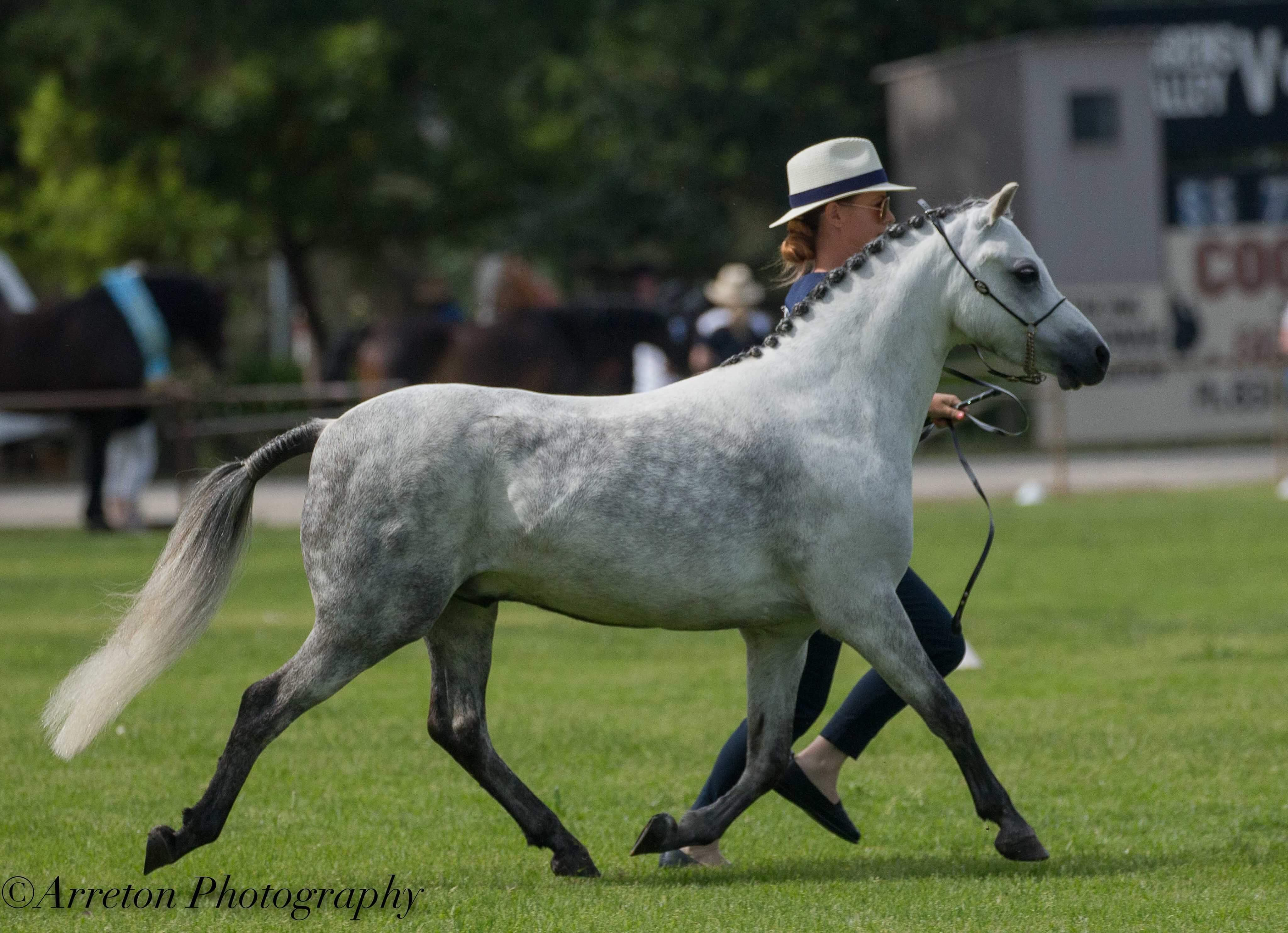 Lead Rein Pony/Harness/Showhunter