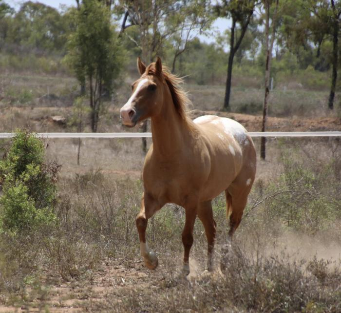 Red Dun Mare In foal