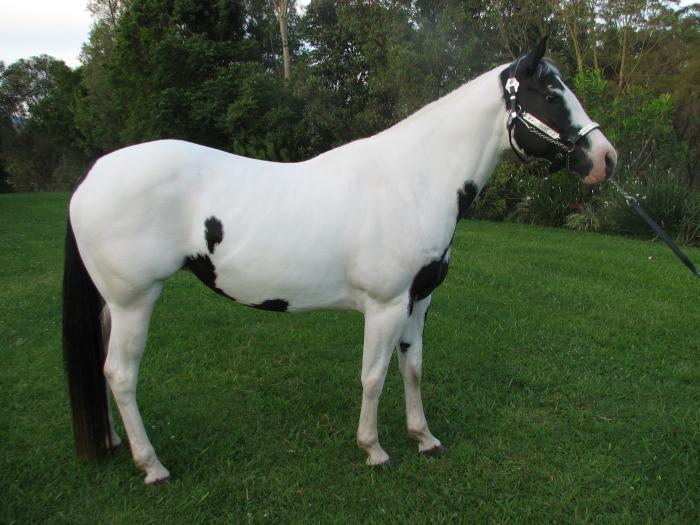 Paint Package - Black Tobiano Mare
