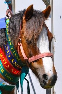 Zoe - Stunning Welsh B 12.2H pony