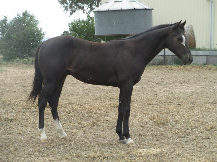 Yearling Paintbred Gelding