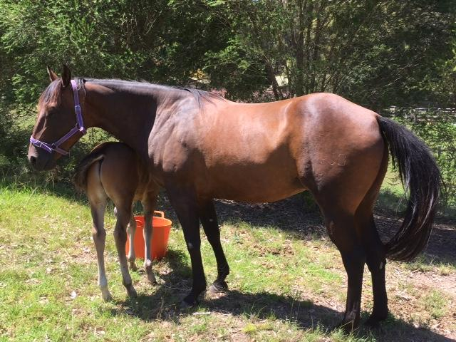 Quarter horse brood mare - exceptional breeding