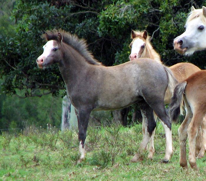 Welsh Mountain Pony Filly Foal Well Bred