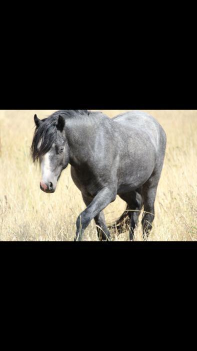 Welsh A colt