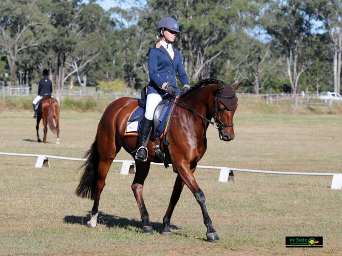 Connemara Sport Horse