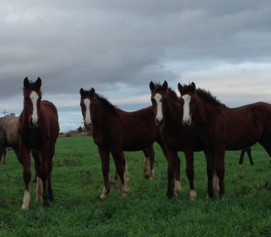 Weanlings by Calgary