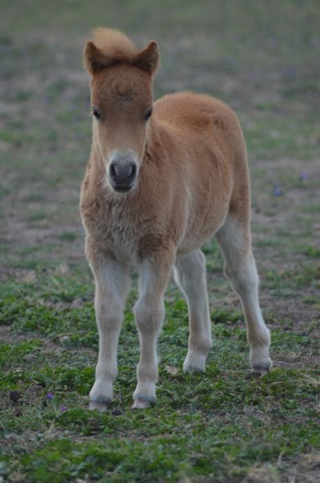AMPS Colt Foal
